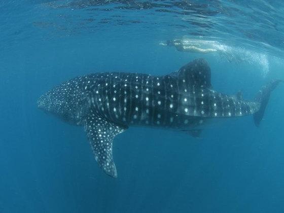 Donsol Whale Shark  U0026 Ticao Island Diving 6d4n Xpert Holidays